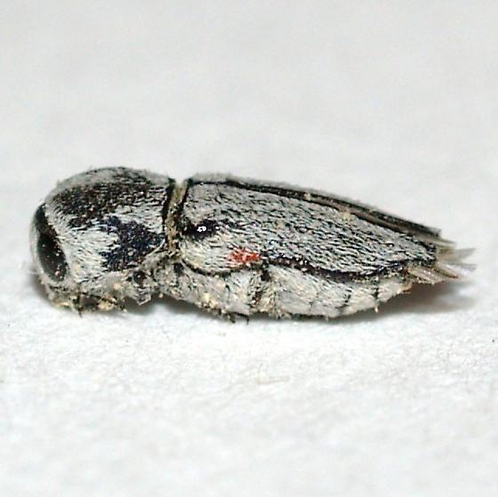 Buprestid from my Palo Verde logs - Paratyndaris albofasciata