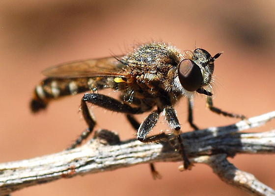 Robber Fly on Twig - Zabrops wilcoxi - male