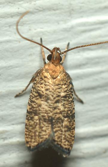 Tortricid Moth? - Psilocorsis