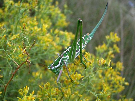 Short-winged Katydid - Eremopedes bilineatus - female