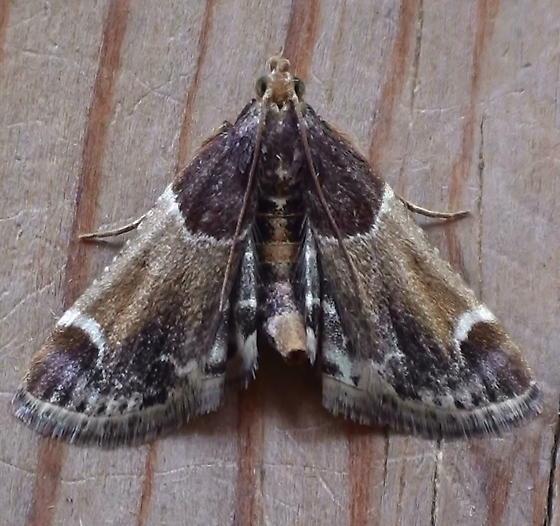 Pyralidae: Pyralis farinalis - Pyralis farinalis
