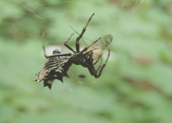 Micrathena gracilis - Spined Micrathena - Micrathena gracilis - female