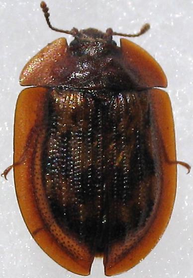 Another Trogossitidae - Peltis pippingskoeldi