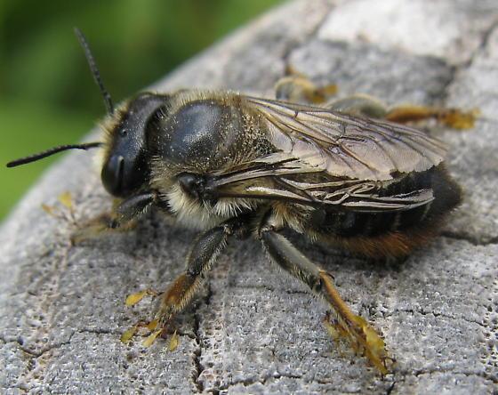 Pollinia tagged bee - Megachile frigida