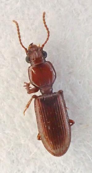 ref photo for peter Messer - Schizogenius pygmaeus