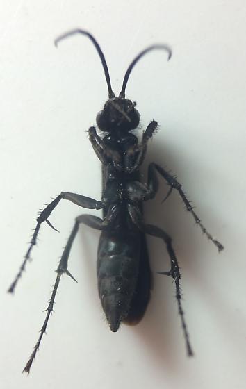 Spider wasp - Anoplius cleora - female