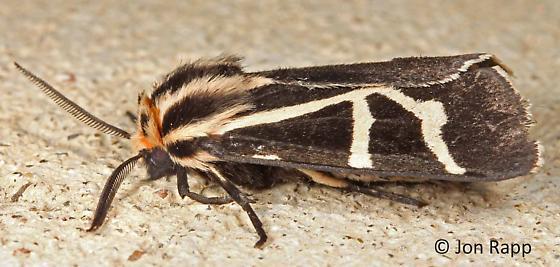Figured Tiger Moth - Apantesis figurata
