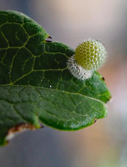 Eastern Black Swallowtail egg? - Limenitis arthemis