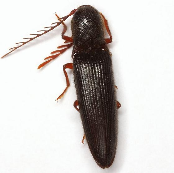 Dicrepidius corvinus Candeze - Dicrepidius corvinus