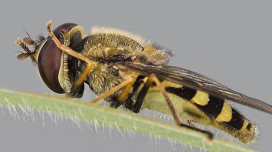 hoverfly - Syrphus ribesii - male