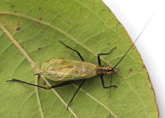Oecanthus nigricornis - male