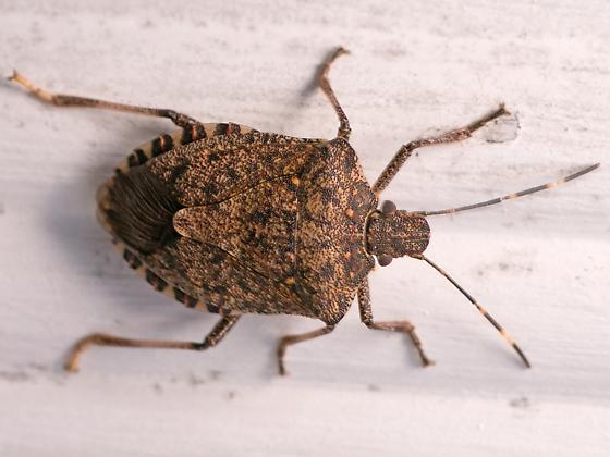 Stink bug autumn visit - Halyomorpha halis? - Halyomorpha halys