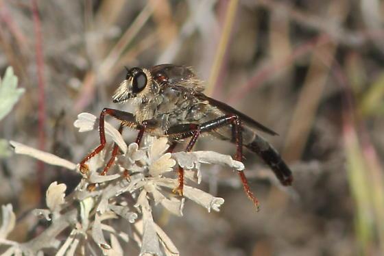 Robber fly - Stenopogon rufibarbis