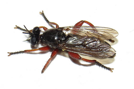 Robber fly - Laphria sadales - male