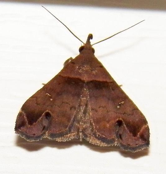 Moth 090517bar - Lascoria ambigualis - male