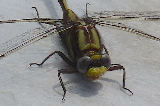Gomphidae(?) I.D. request - Gomphurus hybridus