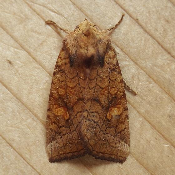 Noctuidae: Amphipoea americana - Amphipoea americana