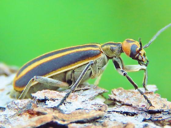 Id help needed - beetle - Epicauta