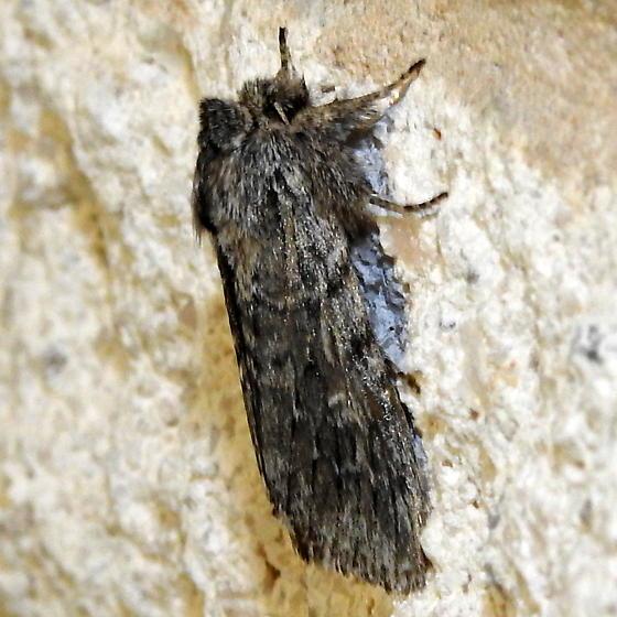 Moth observed 2-8-2020 7:36 pm southwest Hamilton County, Texas  - Supralathosea baboquivariensis