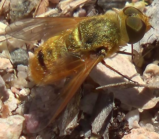 Golden Bee Fly - Chrysanthrax
