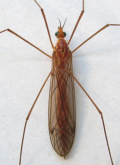 Large Crane Fly - Nephrotoma wulpiana - female
