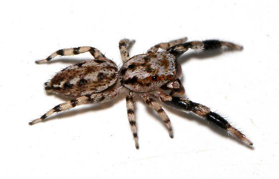 Adult male side - Marpissa obtusa - male