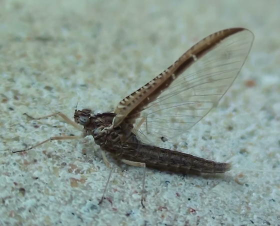 Baetidae: Callibaetis? - Callibaetis skokianus
