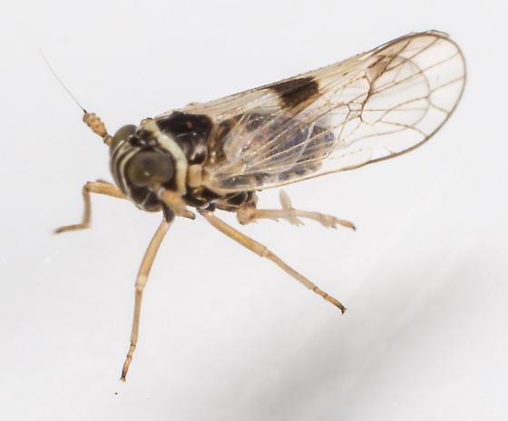 Planthopper - Delphacodes puella