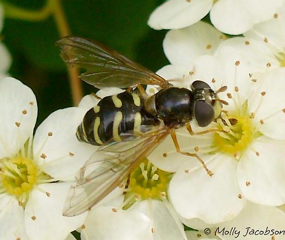 Syrphid - Dasysyrphus laticaudus