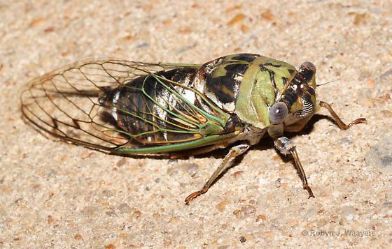 Very large cicada - Megatibicen resh
