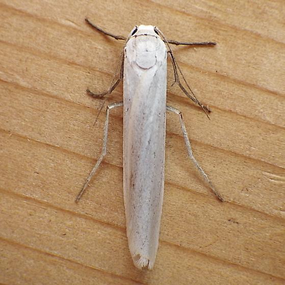 Erebidae: Crambidia casta - Crambidia casta