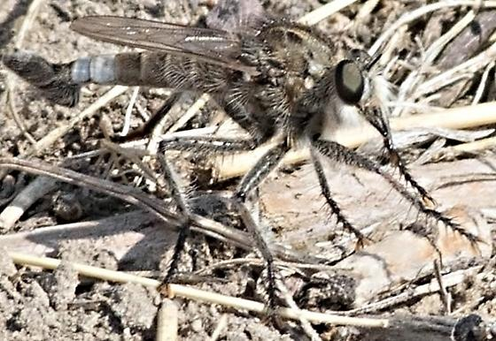 Efferia - Efferia latruncula