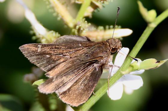 Violet-banded Skipper - Lerema accius