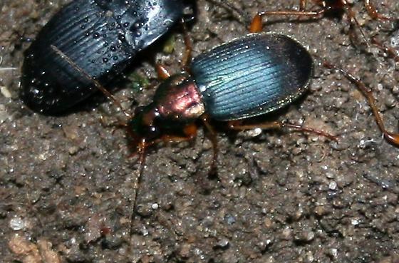 Beetle ID Request - Chlaenius tricolor