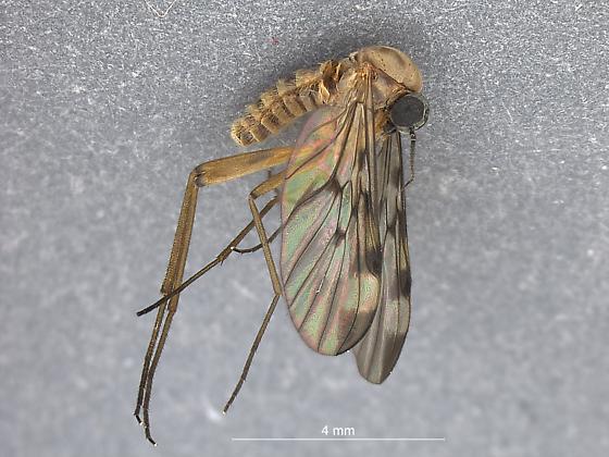 Shelton Dipt 2 - Sylvicola fenestralis
