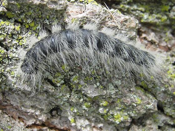 Walnut Caterpillar - Datana integerrima