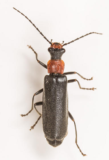 Beetle - Dichelotarsus punctatus