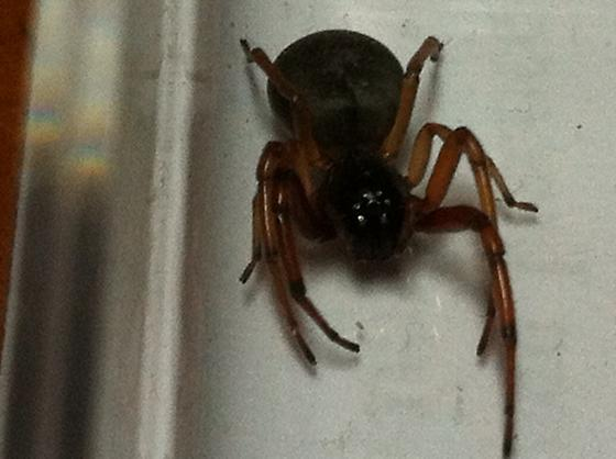Spider in the house - Trachelas tranquillus