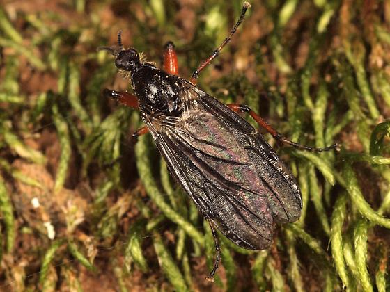 Asassian Fly? - Bibio xanthopus - female