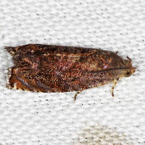 Hickory Shuckworm Moth - Cydia caryana