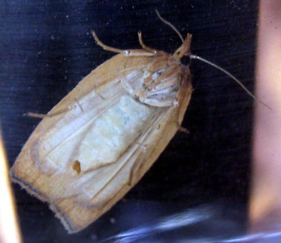 Moth - Amorbia cuneanum