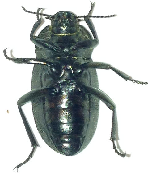 Vineyard Beetle - Eleodes tricostata