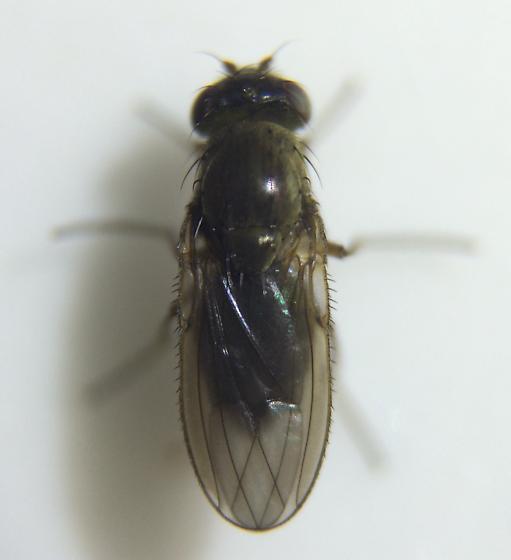 Fly - Dimecoenia spinosa