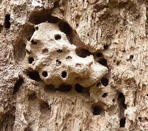Sweat bee's nest? - Augochlora pura