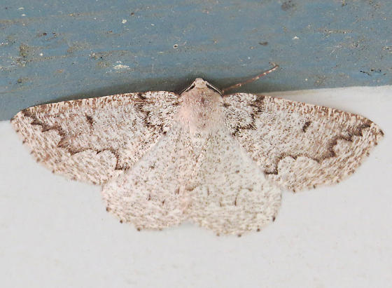 Packard's Girdle Moth (Enypia packardata) Hodges #7007 - Enypia packardata