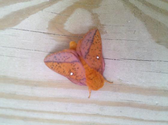 pink-orange moth - Anisota stigma - male