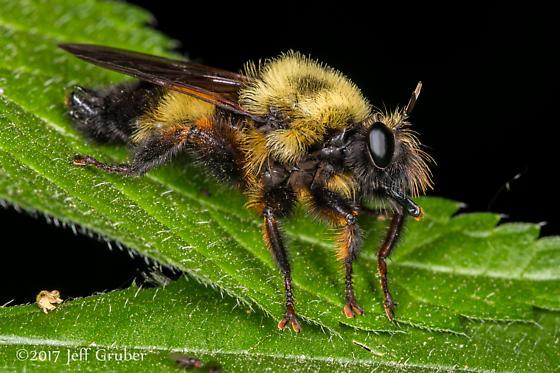 Asilid - Laphria thoracica - male
