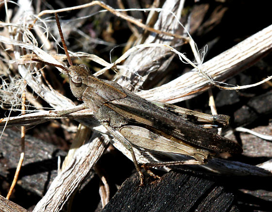 unidentified grasshopper - Chortophaga viridifasciata - male
