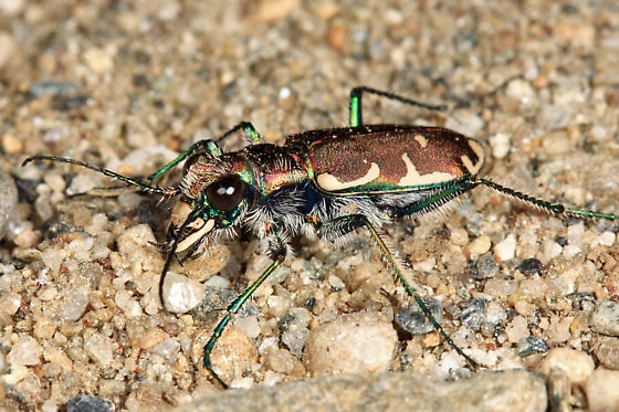 Image result for appalachian tiger beetle