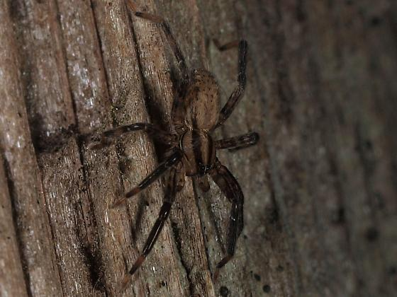 Jumping Spider? - Zora hespera